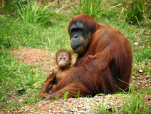 Orangutan and baby. Mother orangutan with her baby Stock Photography