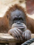 Orangutan baby Royalty Free Stock Image