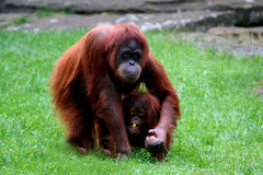 Orangutan with baby. Orangutan holding baby and eating carrots Stock Images