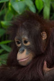 The orangutan. Royalty Free Stock Image
