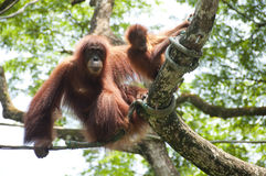 Orangutan and baby. Bornean Orangutan (Pongo pygmaeus) on a tree with her baby Royalty Free Stock Images