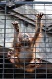 Orangutan baby climbing in animal cage Royalty Free Stock Images