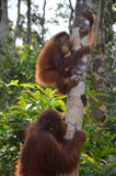 Orangutan. Baby orangutan climbs a tree with mother behind in borneo Royalty Free Stock Photography
