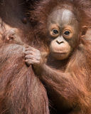 Orangutan - Baby Stock Photography