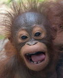 Orangutan - Baby with funny face. Orangutan baby with expression of anger(?), fierce look royalty free stock photography