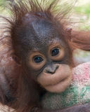 Orangutan - Baby with funny face Stock Image