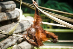 Orangutan baby Royalty Free Stock Photo