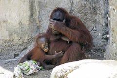 Orangutan Baby Hugging Mother Royalty Free Stock Photos