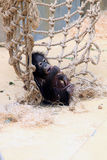 Orangutan baby is lazing against a big net Royalty Free Stock Photography