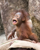 Orangutan - Baby The Mad Look Stock Photography