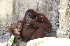 Orangutan Baby & Mom Resting Royalty Free Stock Image