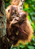 Orangutan with baby. Mother orangutan with her baby Stock Photography