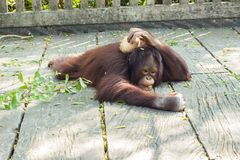 An orangutan baby. Playing on the ground Stock Photography