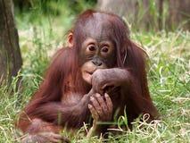 Orangutan baby Stock Images