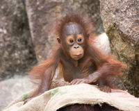 Orangutan - Baby with surprised look. Orangutan baby with expression of surprise, wide eyed royalty free stock photos