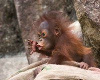 Orangutan - Baby with surprised look. Orangutan baby with expression of surprise, wide eyes and pointed lips stock photos