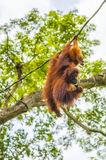 Orangutan with baby swinging in trees Royalty Free Stock Photography