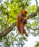 Orangutan with baby swinging in trees Royalty Free Stock Photos