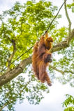 Orangutan with baby swinging in trees Stock Image