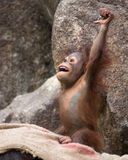 Orangutan - Baby victory! Stock Images