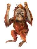 Orangutan baby  on white. Stock Image