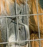 Orangutan behind fence Stock Image