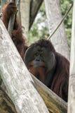 Orangutan Behind Log Stock Photography