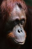 Orangutan Ben. / Very clever sight of the young orangutan of the male by name of Ben Royalty Free Stock Photo