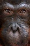 Orangutan Ben. Stock Photos