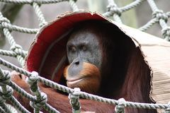 orangutan blocking out the sun with a piece of cardboard Stock Photography