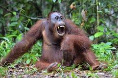 Orangutan Bornean με το ανοικτό στόμα Στοκ Εικόνες