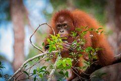 Orangutan Bornean μωρό Στοκ εικόνες με δικαίωμα ελεύθερης χρήσης