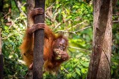 Orangutan Bornean μωρό Στοκ Φωτογραφίες