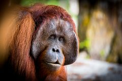 Orangutan Bornean πορτρέτο Στοκ εικόνες με δικαίωμα ελεύθερης χρήσης