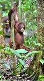 Orangutan Bornean στο δέντρο Στοκ Εικόνες