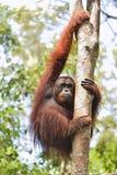 Orangutan Bornean στο δέντρο Στοκ εικόνες με δικαίωμα ελεύθερης χρήσης