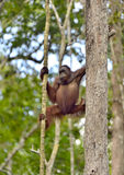Orangutan Bornean στο δέντρο Στοκ εικόνα με δικαίωμα ελεύθερης χρήσης