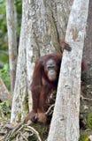 Orangutan Bornean στο δέντρο Στοκ φωτογραφία με δικαίωμα ελεύθερης χρήσης