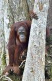 Orangutan Bornean στο δέντρο Στοκ Φωτογραφία