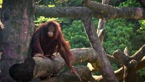 Orangutan bornean adulto che riposa sulla cima dell'albero alla foresta nello zoo stock footage