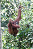 Orangutan. Bornean orangutan eating a banana while hanging in a rope Stock Photography