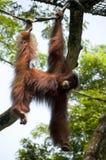 Orangutan. Bornean Orangutan (Pongo pygmaeus) is hanging on a rope Stock Images