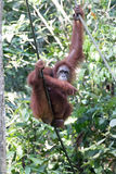 Orangutan. Borneo orangutan eating a banana while hanging in a rope Royalty Free Stock Photography
