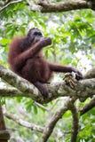 Orangutan. Borneo orangutan eating  bananas in a tree Royalty Free Stock Images