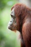 Orangutan Borneo Indonesia Fotografie Stock Libere da Diritti
