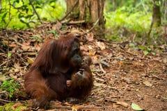 Orangutan in Borneo Indonesia. Stock Photo