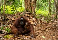 Orangutan in Borneo Indonesia. Stock Image