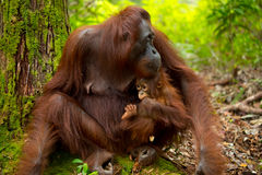Orangutan in Borneo Indonesia. Royalty Free Stock Photos