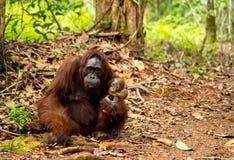 Orangutan in Borneo Indonesia. Stock Photos