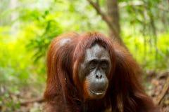 Orangutan in Borneo Indonesia. Stock Photography